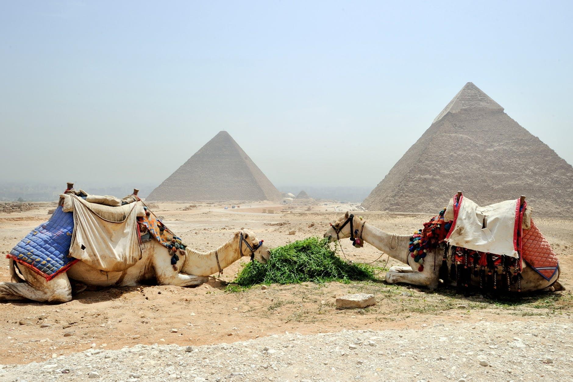 camels eating plants